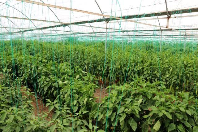 Kahramanmaraş'tan 30 ülkeye yerli hibrit tohum ihracatıta