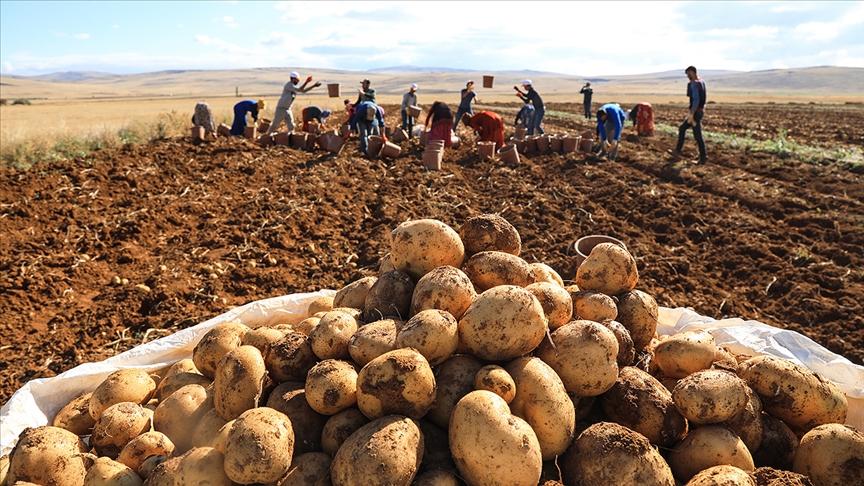 Türkiye'nin patates tohumu ihtiyacının yarısından fazlası yerli tohumla karşılanıyor