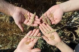 Yerli ekmeklik buğday çeşitlerinin çiftçiye tanıtılması için tarla günü düzenlendi