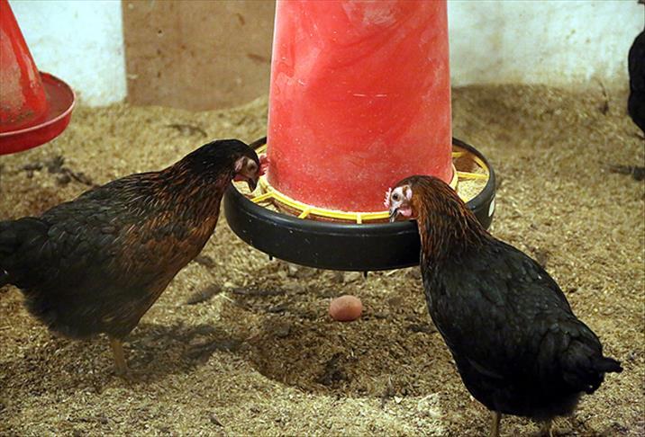 Yerli tavuk ATAK-S