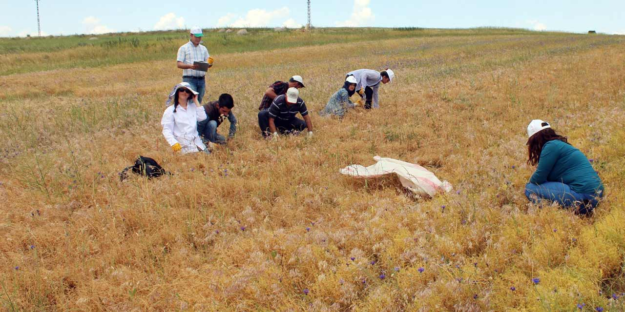 Yozgat'ta Şahan adlı yerli mercimek ekimi yapıldı